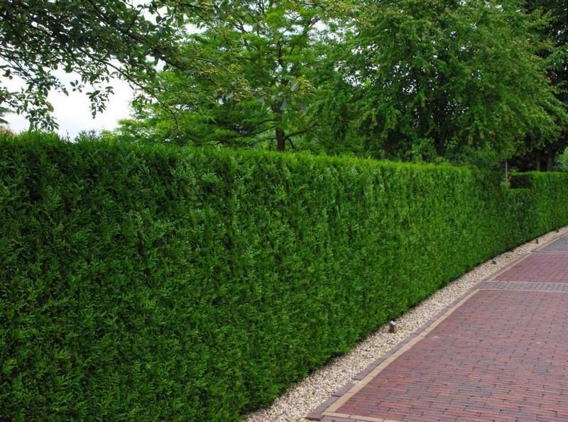 Прекрасный хвойный забор в парке