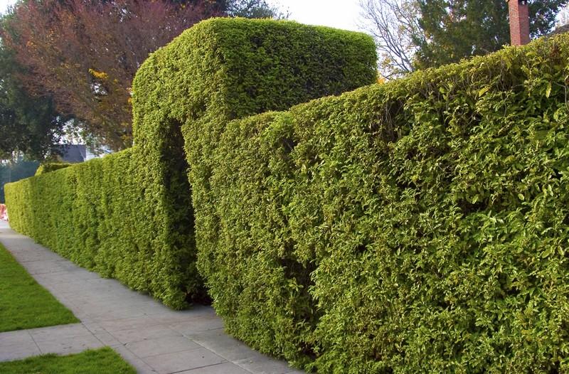 Сплошной зеленый хвойный забор с арочным входом