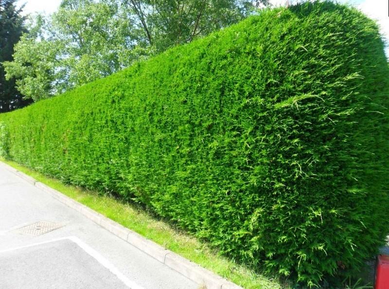 Сплошной зеленый забор из туй