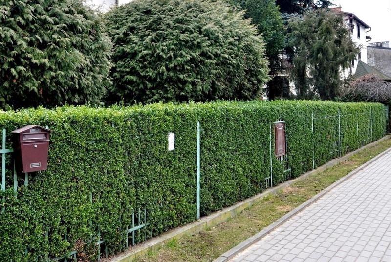 Живой зеленый забор возле дома