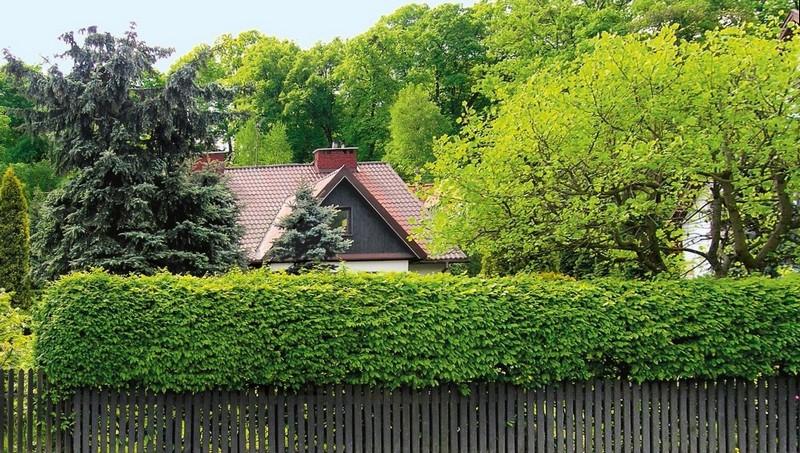 Живой зеленый забор в сочетании с деревянным