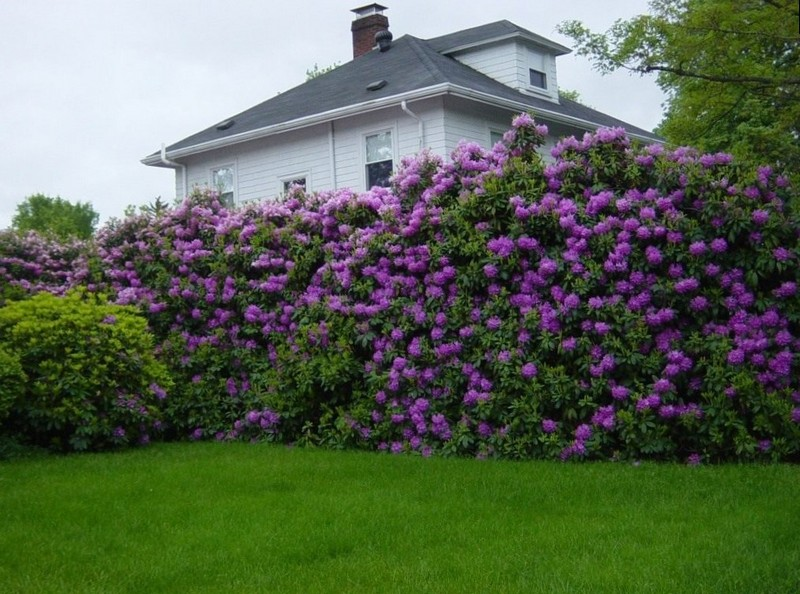 Прекрасная цветущая живая изгородь