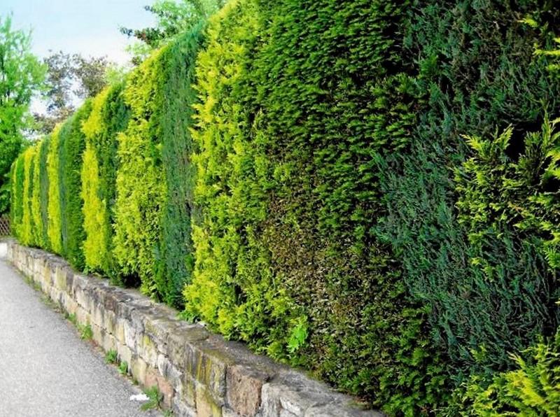 Живой зеленый забор из разнообразных хвойных пород